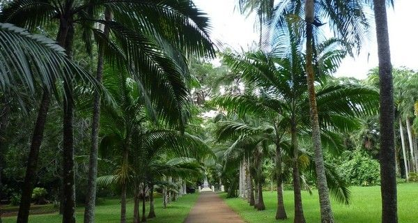 ile maurice palmier
